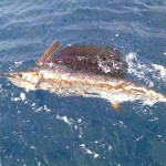 sailfish-150x150